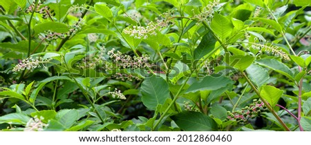 Phytolacca americana, also known as American pokeweed, pokeweed, poke sallet, dragonberries is a poisonous, herbaceous perennial plant in the pokeweed family Phytolaccaceae. Stock photo ©