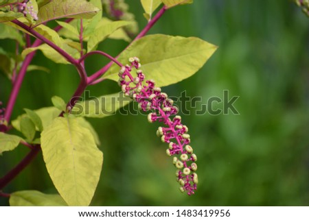 Phytolacca americana, also known as American pokeweed, pokeweed, poke sallet, or poke salad, is a poisonous, herbaceous perennial plant in the pokeweed family Phytolaccaceae Stock photo ©