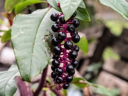 Phytolacca americana also known as the black ink plant