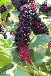 Phytolacca americana American Pokewee in a Country Cottage Garden in Rural Scene close up
