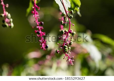 Phytolacca Americana (American Pokeweed, Pokeweed, Poke Sallet, Dragonberries) Stock photo ©