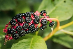 Phytolacca Americana, The American Pokeweed Or Simply Pokeweed With Black Berries.