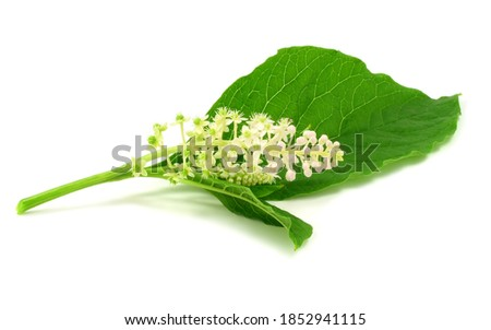 Phytolacca Medicinal and Culinary Plant Flower and Leaves. Also Known as Pokeweeds, Pokebush, Pokeberry, Pokeroot, Inkberry or Poke Sallet. Isolated on White. Stock photo ©