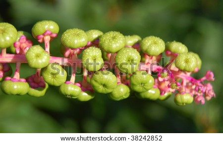 Phytolacca pokeweed with garden background