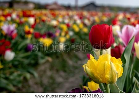 Piękny dojrzały czerwony i żółty wyrośnięty tulipan na polu tulipanów wiosną na polnej drodze na wsi Zdjęcia stock ©