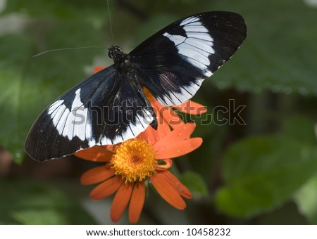 Piano Key Butterfly-Heliconius melpomene