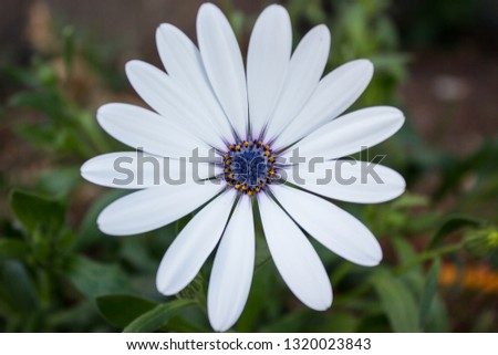 Pic of a beautiful white flower with a great details of the stamen in blue or violet and yellow colour. The plants are in the garden of the house, The background is blurred with green leaves