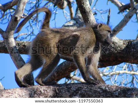 Pic Of Monkey Walking Along Tree Branch Against Blue Sky