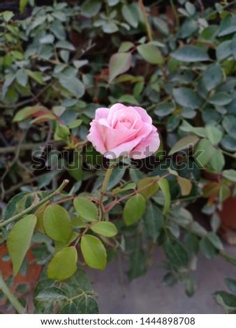 Pic of pink rose taken from my garden