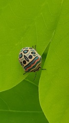 Picasso bug also known as Zulu Hud Bug on a leaf