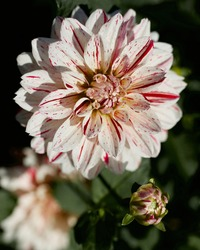 Picasso dahlia, captured at Swan Island Dahlias, in Canby, Oregon.