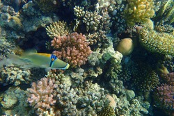 picasso trigger fish in the red sea