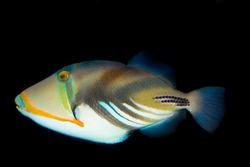 Picasso Triggerfish in Aquariu, against black background