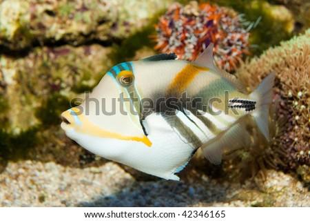 Picasso Triggerfish in Aquarium