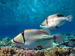 Picasso triggerfish swimming over a coral reef. Red Sea. Egypt