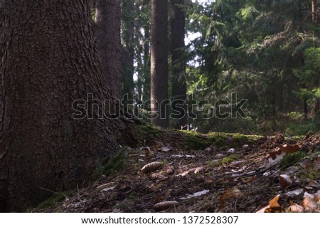 Picea abies trees, detail of spruce trunk and root in the forest. Spruce cone and oak leaves on the ground. On background spruce trees.