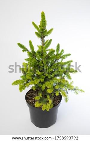 Picea abies Will's Zwerg - outdoor plant Zdjęcia stock ©