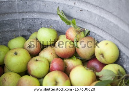 Picked Apples in Iron Bath. Close Up.