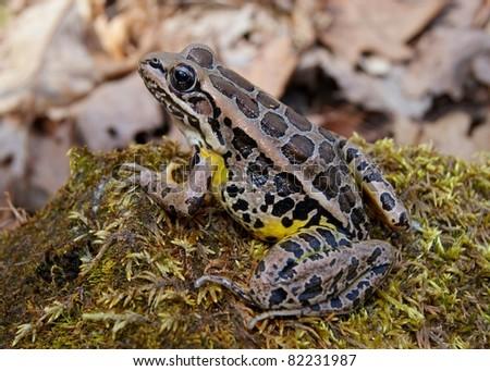 Frog, Lithobates palustris, similar in appearance to the Leopard Frog