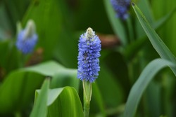 Pickerelweed (Pontederia cordata) is an aquatic plant of Pontederiaceae perennial that blooms pale bluish purple flowers with spikes from May to October.