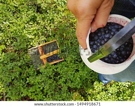 picking blueberries in the forest with a berry rake. female hand of an elderly woman shows milk can with picked berries