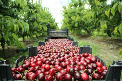 Picking cherries in the orchard . Boxes of freshly picked lapins cherries. Industrial cherry orchard. Buckets of gathered sweet raw black cherries . Close-up view of green grass and boxes full