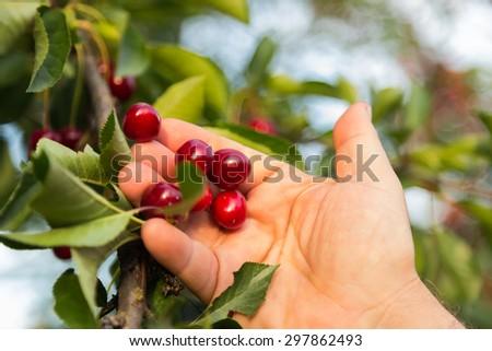 Picking cherries. The gardener cuts the ripe cherries from the tree.