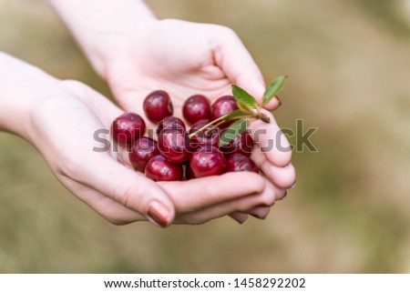 Picking fruits in a cherry orchard - girl holding a handful of freshly picked sour cherries in both hands