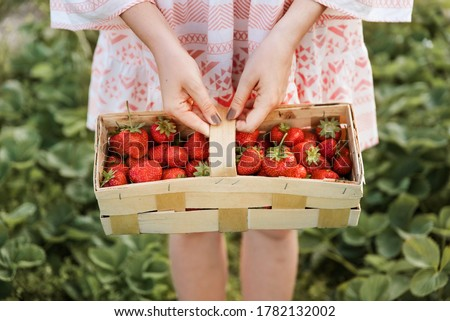 Picking fruits on strawberry field on a sunny day. Woman in dress holding basket full of fresh strawberries. Summer work in garden and strawberry harvest