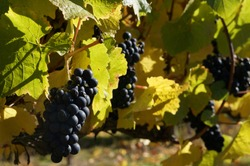Picking grapes of Pinot Noir in magical orchard near Cromwell. Stunning sunny day in autumn and hard work makes very tasty wine typical for Central Otago. Magical red grapes with colourful leaves.