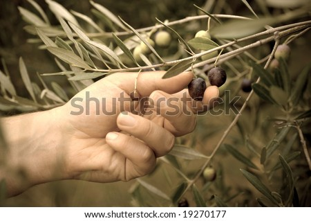 Picking olives by hand. Toned image.