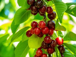 Picking Sweetheart Cherry in Cromwell, New Zealand