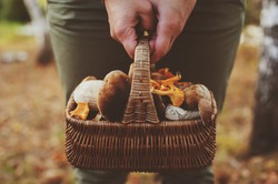 picking wild mushrooms in autumn forest. Hand holding basket full of mushrooms, lifestyle shot.