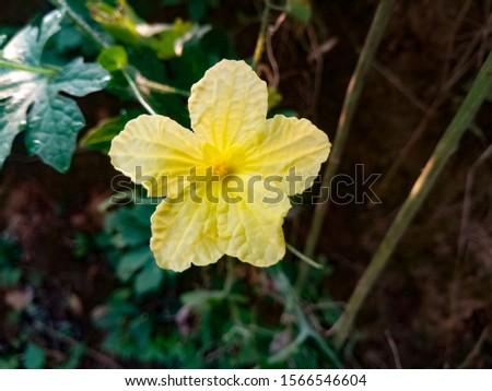 Picture Bitter Melon Flower, Karela flower