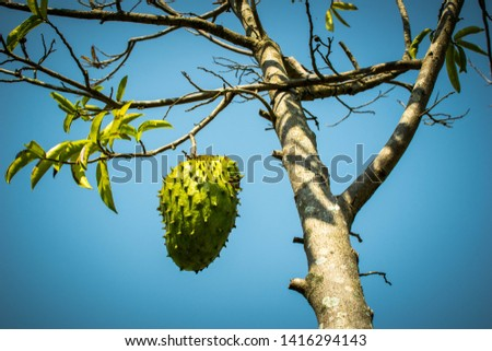 Picture from down to up of the rear fruit Soursop in Asia hanging on the tree with blue sky background close up picture of fruit on the tree on the farm.
