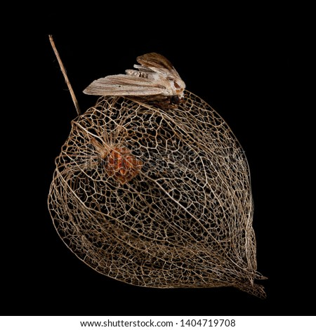 Picture from the series 'Aetas Elegantia', shows a moth on a physalis.