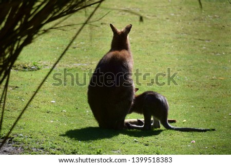 Picture of a baby wallaby/kangaroo and his mom