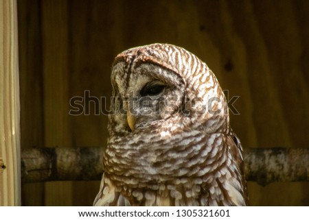 Picture of a barred owl