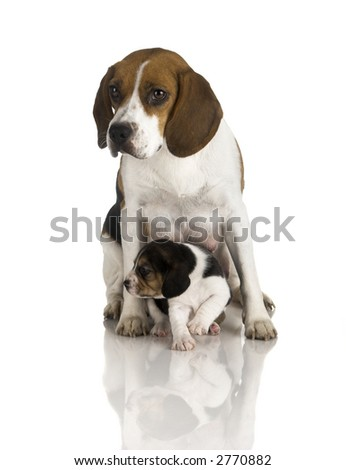 Picture of a Beagle mom protecting is son