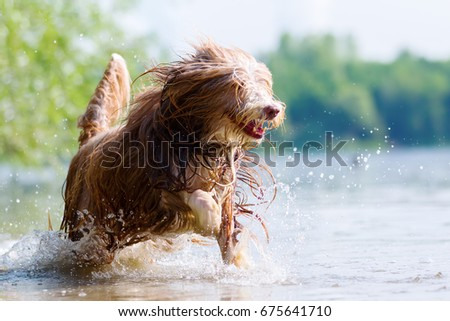picture of a bearded collie who is running in a lake