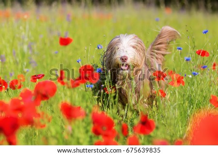 picture of a bearded collie who is running through a poppy field