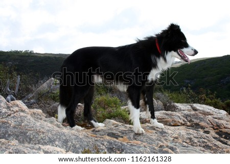 Picture of a beautiful Border Collie dog