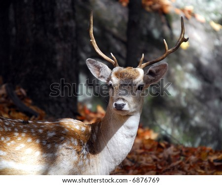 Picture of a beautiful Fallow Deer (Dama dama) in a colorful forest