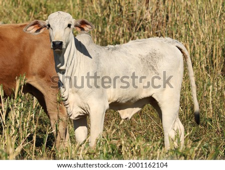Picture of a beautiful white calf in the pasture! (Bos taurus indicus) Stockfoto ©