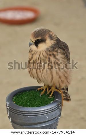 picture of  a bird of prey, falcon