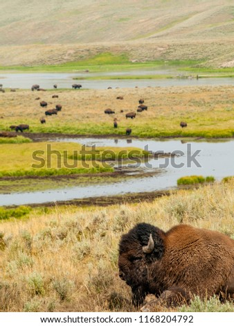 Picture of a bison with its herd in the background in Yellowstone National Park.