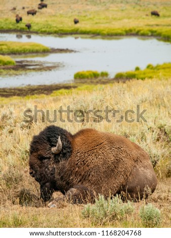 Picture of a bison with its herd in the background near a river in Yellowstone National Park.