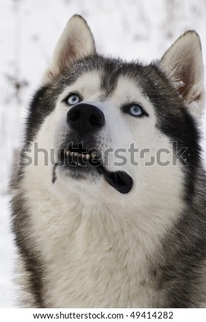 stock photo picture of a blue eyed adult siberian husky 49414282 This very popular trip combines stays at hotels & resorts, college dorms and ...
