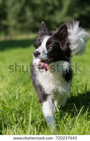 Picture of a Border Collie who walks on the meadow