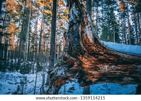 Picture of a bronken wood trunk in the woods during the winter. Evening sun shining on the treetops, shadows across the ground.
